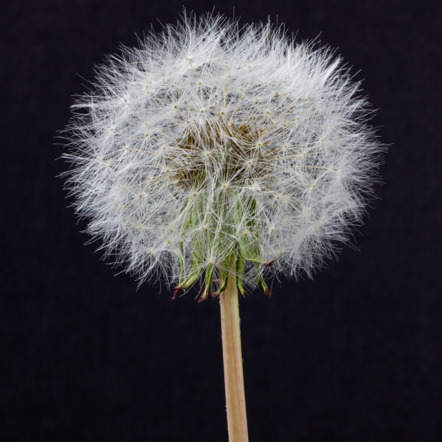 """Dandelion Seeds"" stock image"