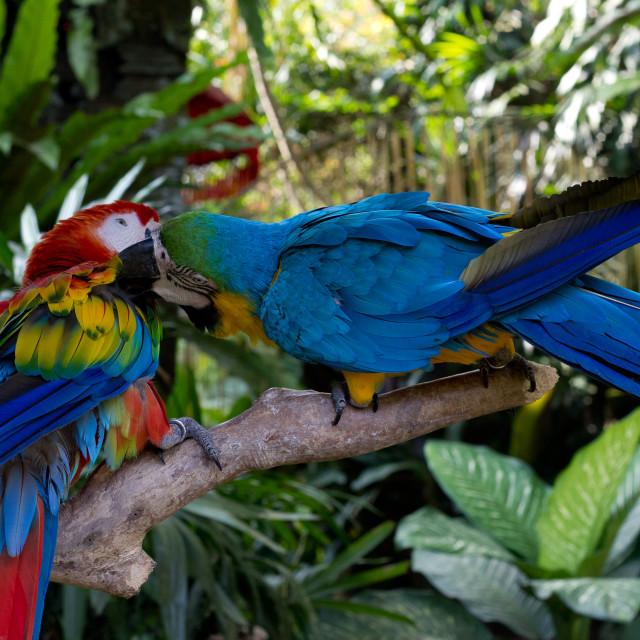"""""""Lovebirds"""" stock image"""