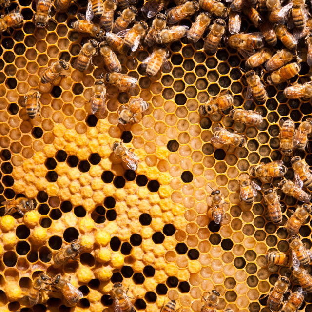 """Honeybee brood comb with larvae and worker bees"" stock image"