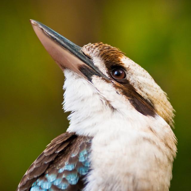 """Laughing kookaburra"" stock image"