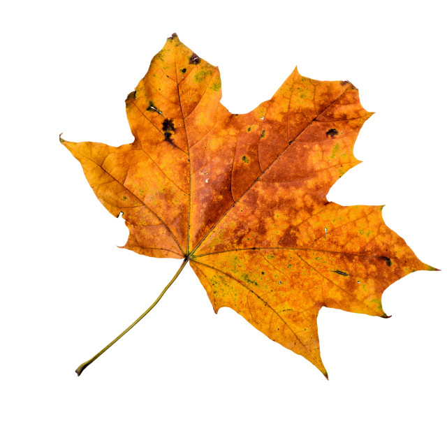 """Autumn Maple Leaf"" stock image"