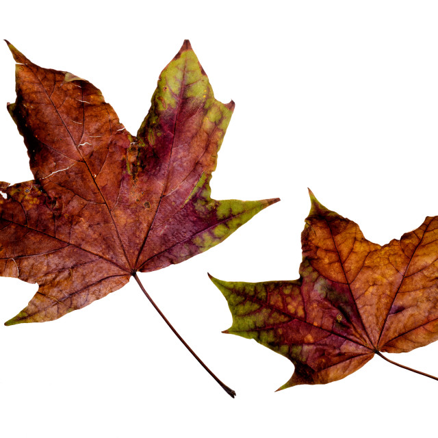 """Autumn Maple Leaves"" stock image"