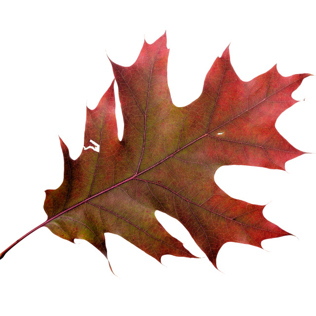 """Autumn Oak Leaf"" stock image"