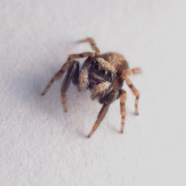 """""""Inquisitive house jumping spider"""" stock image"""