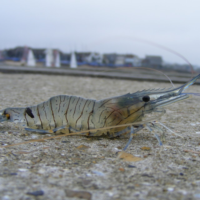 """Whitstable Prawn"" stock image"