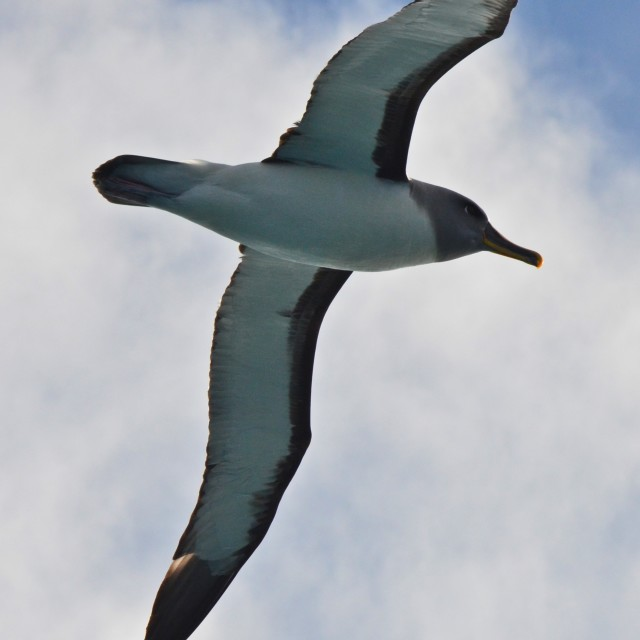 """Royal Albatross"" stock image"