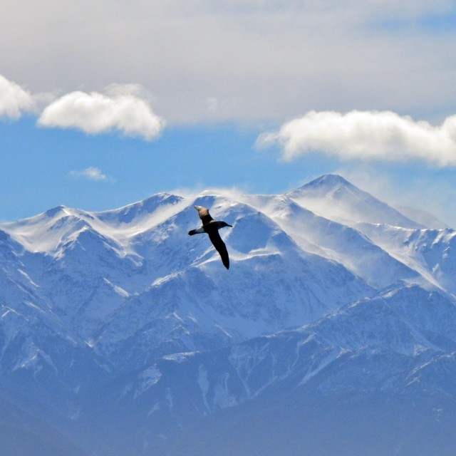 """Albatross over the mountains"" stock image"