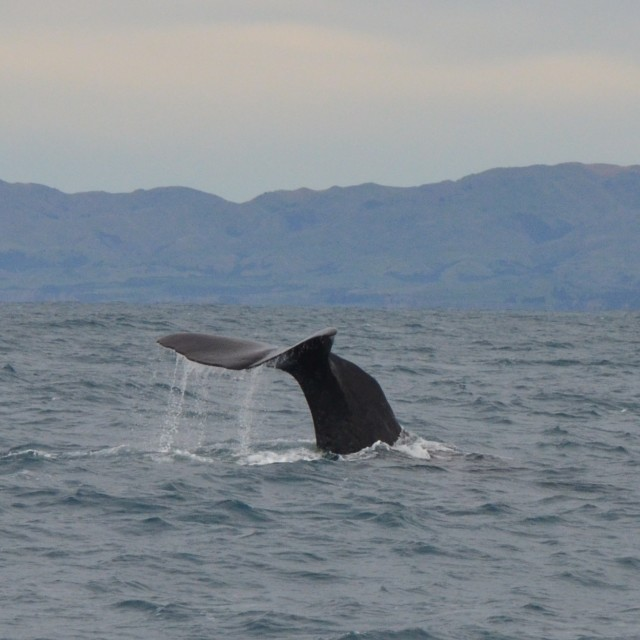 """""""Sperm Whale Fluke"""" stock image"""