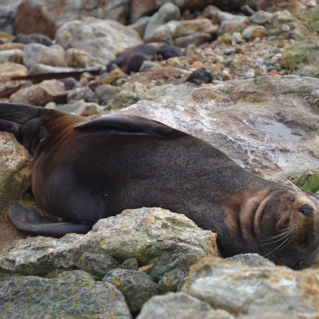 """Sleeping Seal"" stock image"