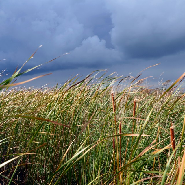 """Stormy Reeds"" stock image"