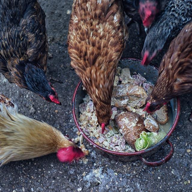 """Greedy chickens"" stock image"