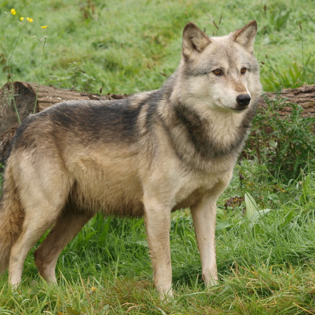 """North American Wolf"" stock image"