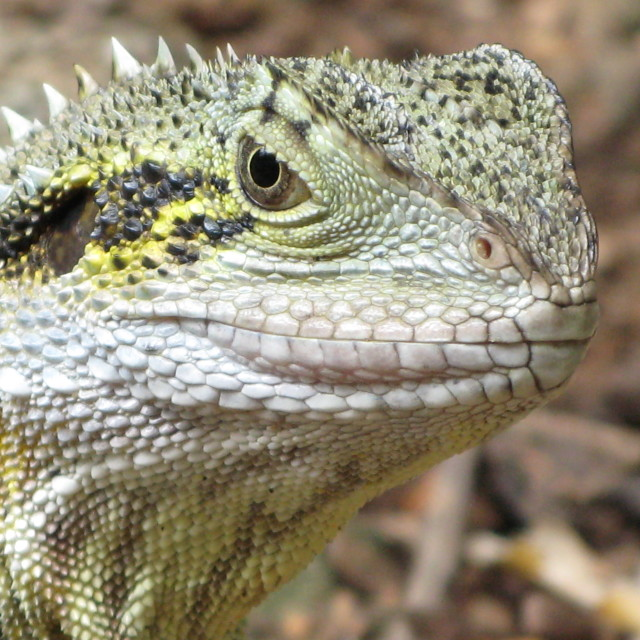 """""""Here's looking at you! - Water dragon"""" stock image"""