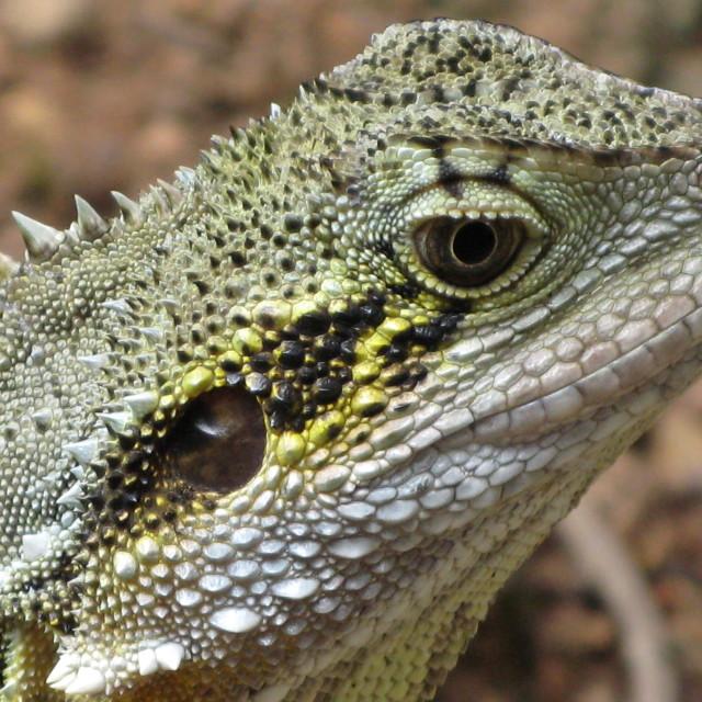 """Eastern water dragon 1 - Intellagama lesueurii"" stock image"