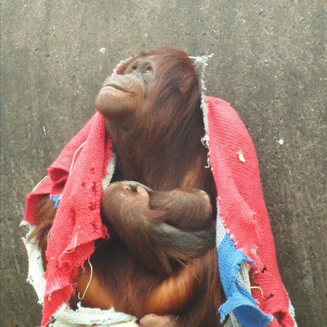 """Orang-utan with blanket"" stock image"