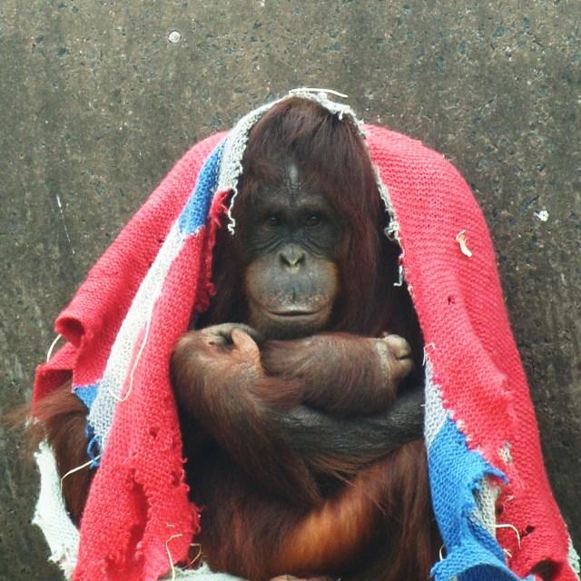 """Orang-utan blanket"" stock image"