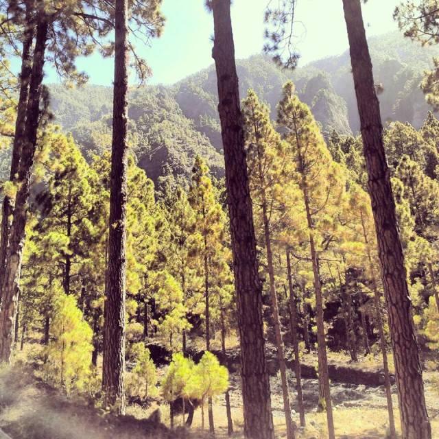 """Trees La Palma"" stock image"