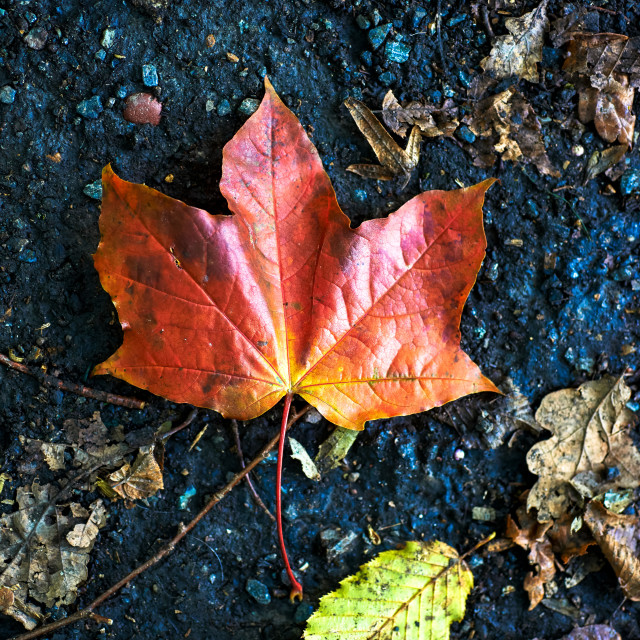 """""""Sycamore Leaf"""" stock image"""