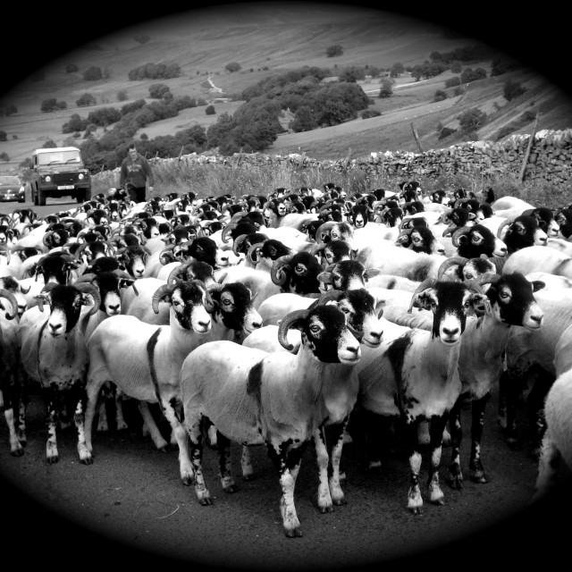 """Bringing the sheep home"" stock image"