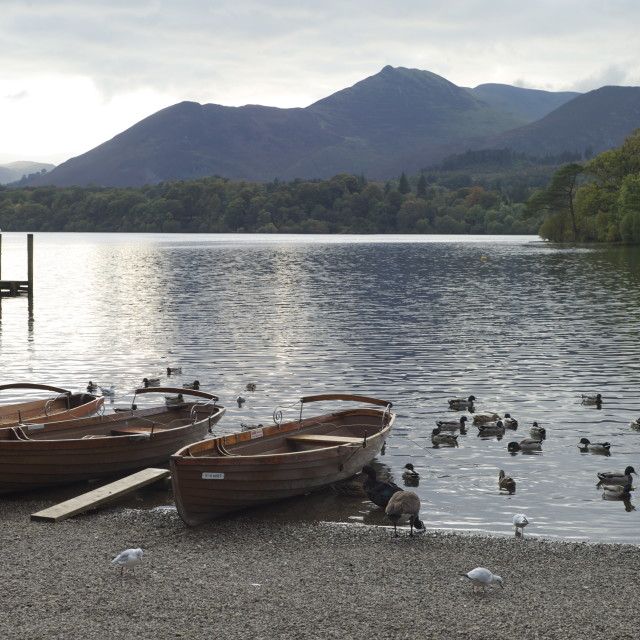 """""""Ducks on Derwent Water"""" stock image"""