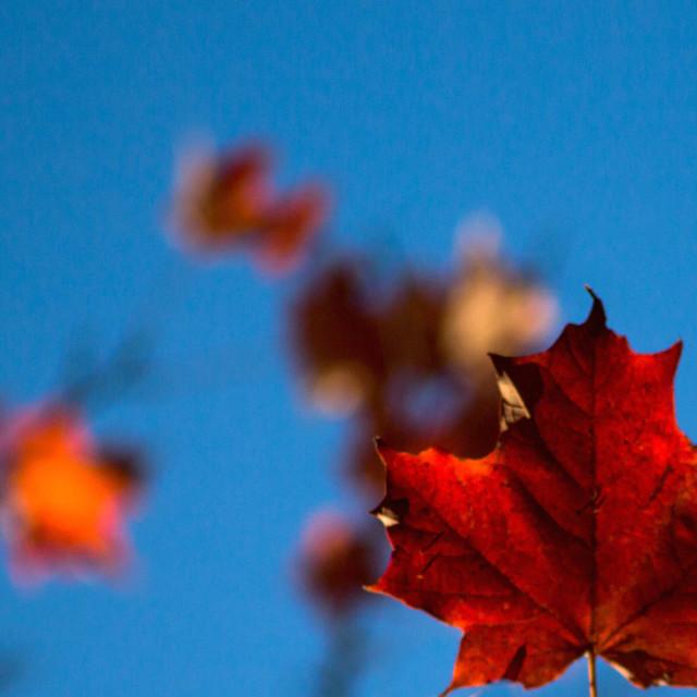 """Maple Leaf!"" stock image"