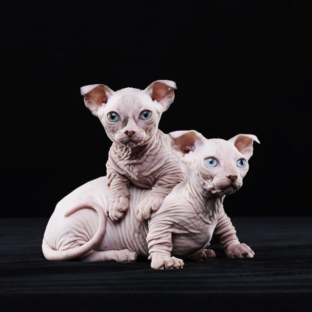 """""""Sphynx elf kittens"""" stock image"""