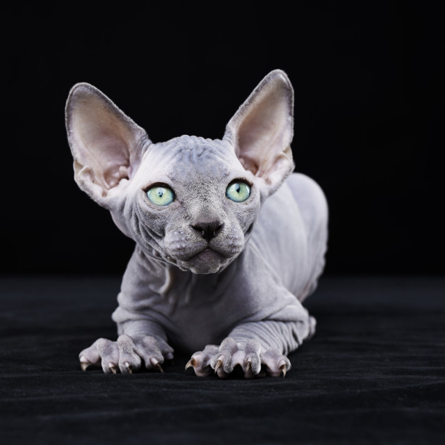 """Sphynx kitten"" stock image"