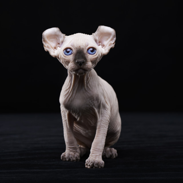 """Sphynx elf kitten"" stock image"