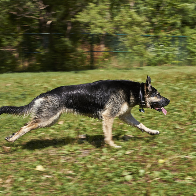 """Dog running"" stock image"
