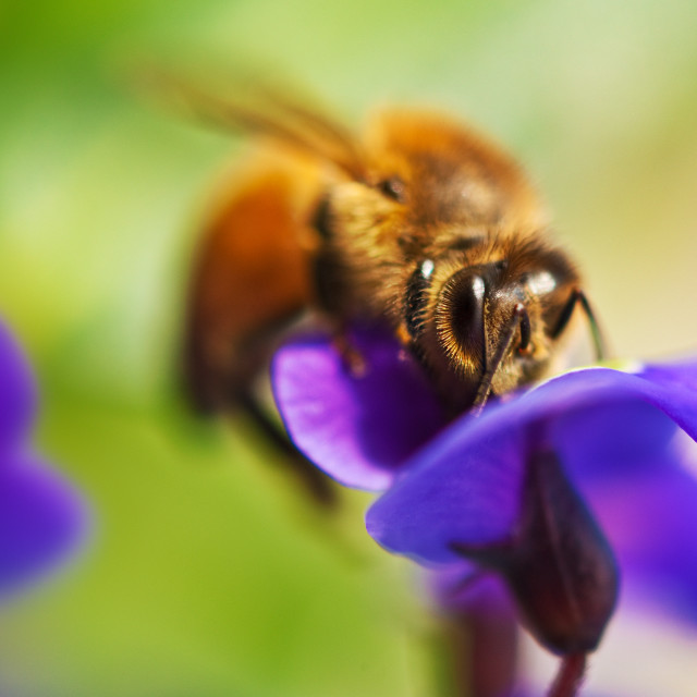 """Honeybee feeding"" stock image"