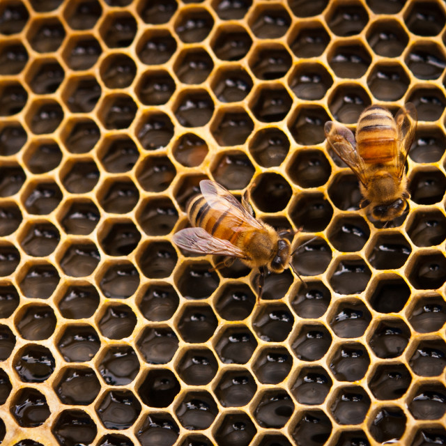 """Honeycomb and worker bees"" stock image"