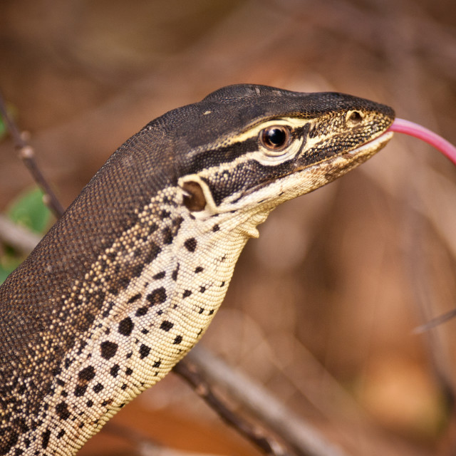 """Goanna (monitor lizard)"" stock image"