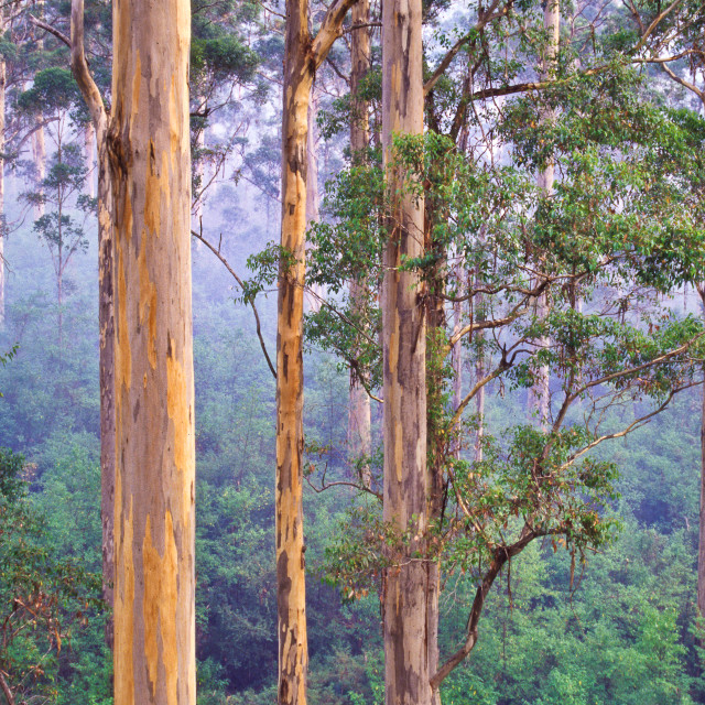 """Karri forest (Eucalyptus diversicolor)"" stock image"