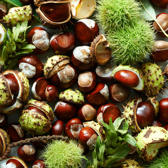 """Conkers"" stock image"