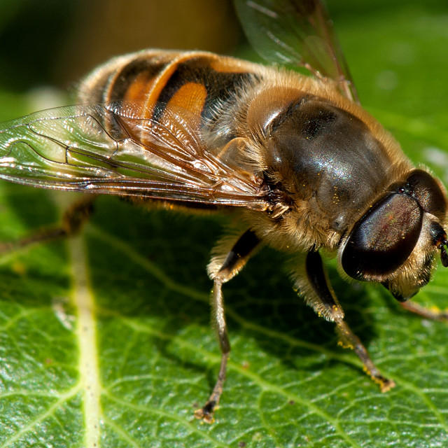 """Hoverfly 'resting'"" stock image"