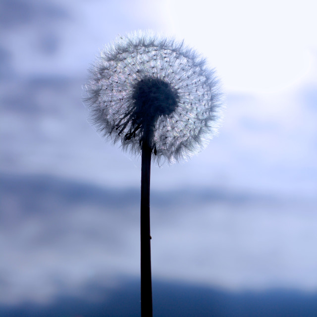 """Autumn Dandelion Seed Head"" stock image"