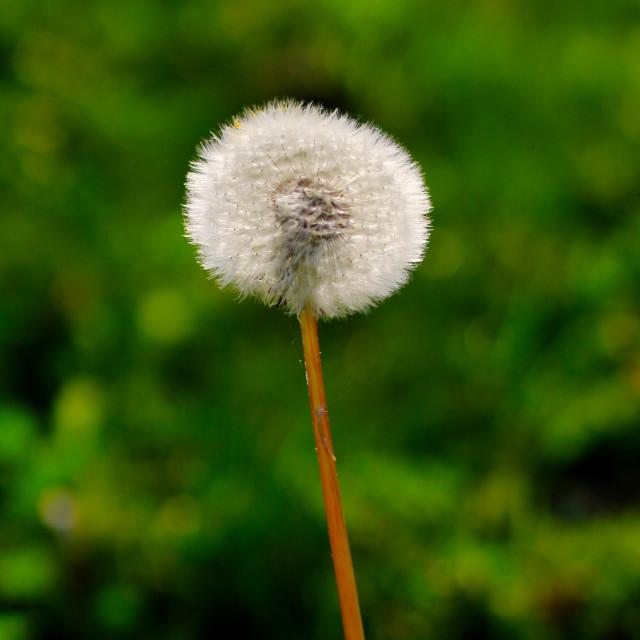 """Autumn Dandelion Blow Ball"" stock image"