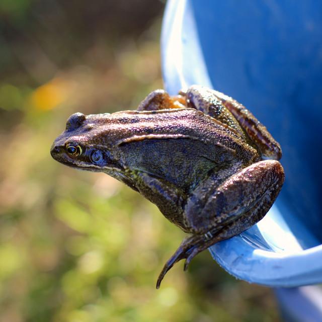 """""""Frog on Bucket"""" stock image"""