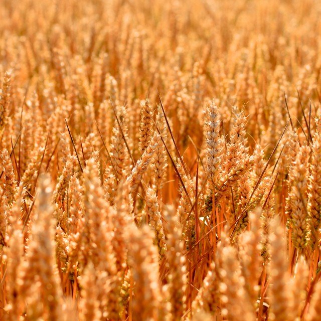 """Golden Wheat Field Texture Background"" stock image"