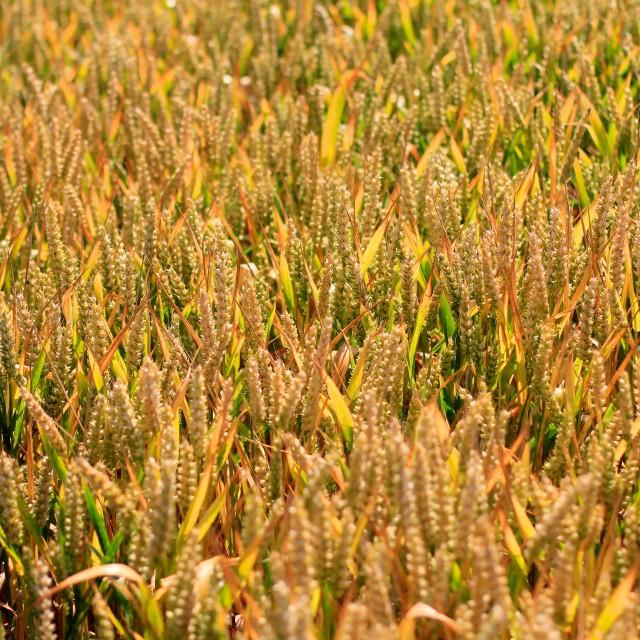 """Wheat Crop Field"" stock image"