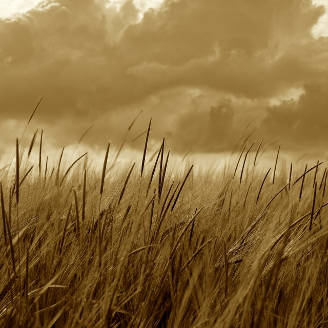 """Sepia Barley Crop Growing Under Cloudy Sky Detail"" stock image"