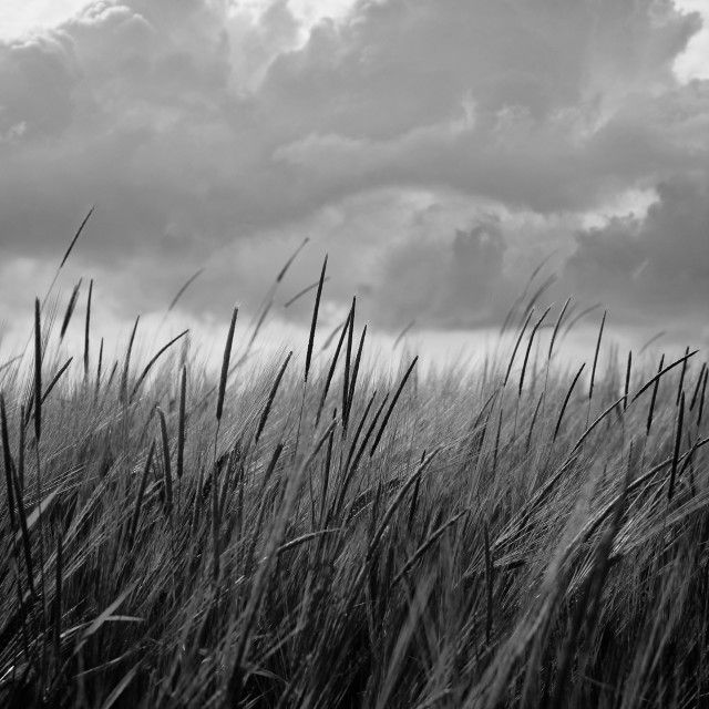 """Black White Barley Crop Growing Under Cloudy Sky Detail"" stock image"