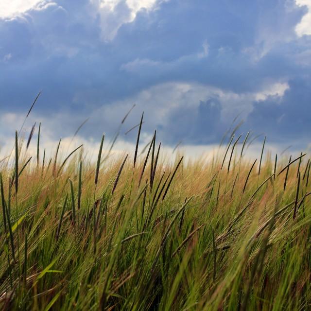 """Barley Crop Growing Under Cloudy Sky Detail"" stock image"