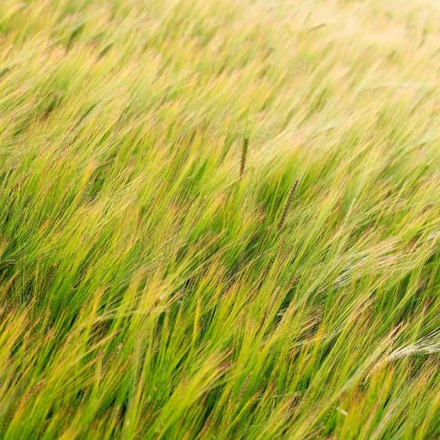 """Green Field of Barley Crop Texture"" stock image"