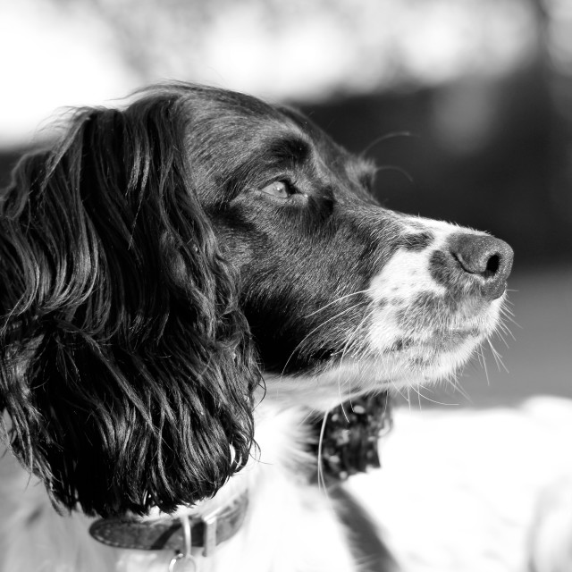 """Springer Spaniel dog"" stock image"