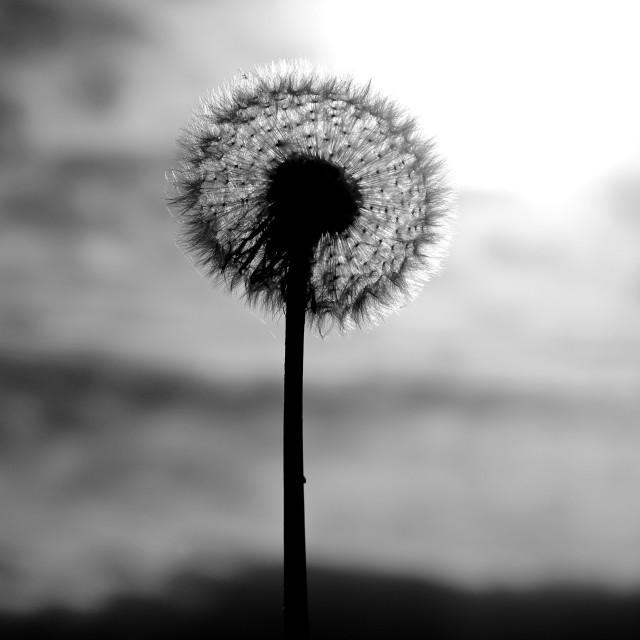"""Autumn Dandelion Seed Head"" stock image"