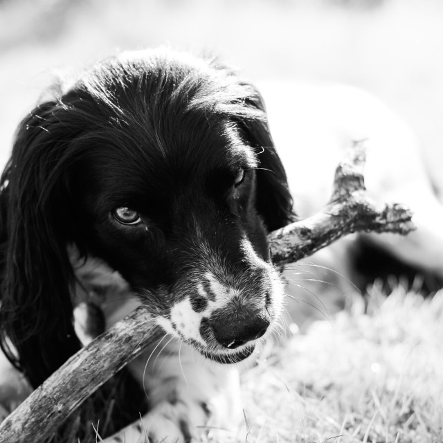 """Playful Springer Spaniel Dog"" stock image"