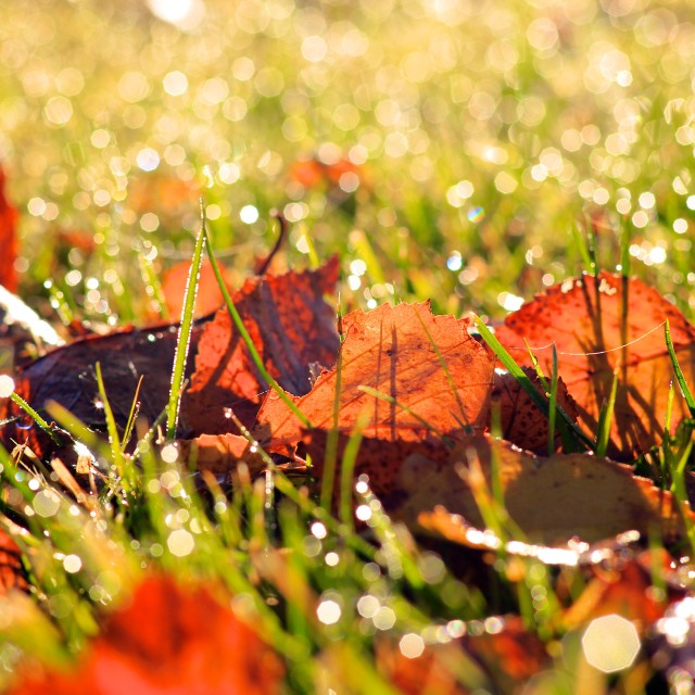 """Autumn Fall Leaves on Grass with Morning Dew Drops"" stock image"