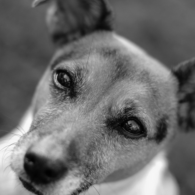 """Jack Russell Dog Black White Portrait"" stock image"