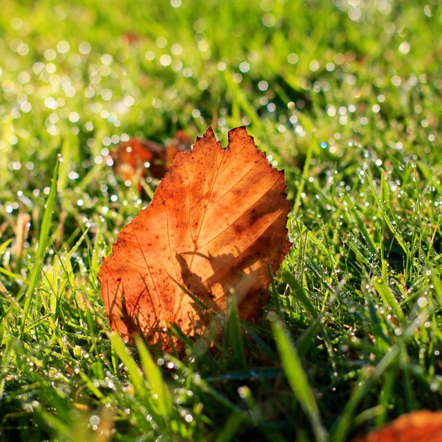 """Autumn Fall Leaf on Grass with Morning Dew Drops"" stock image"